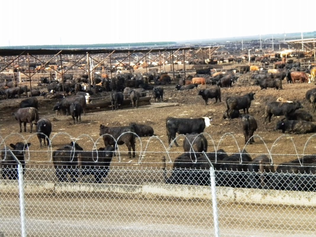 Harris Ranch Feedlot, California