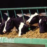 California Regulates Cow Farts, Dairy Farmers In Revolt