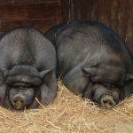 Científicos que apuntan a crear un híbrido humano-cerdo para cosechar órganos