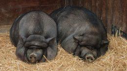 pair of pigs