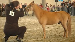Miniatuur paard