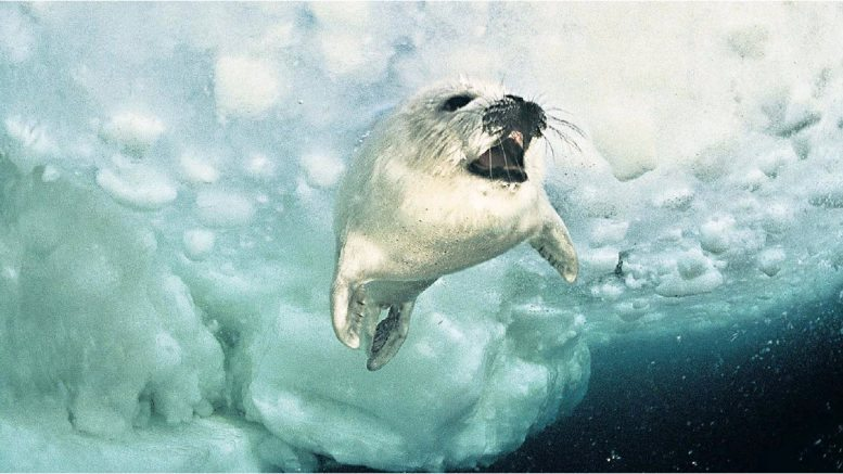 seal under ice pack