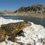 California Ranchers Rebel As 1.8 Million Acres Set Aside For… Frogs?