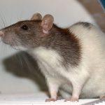 Cientistas estão implantando minúsculos cérebros humanos em ratos