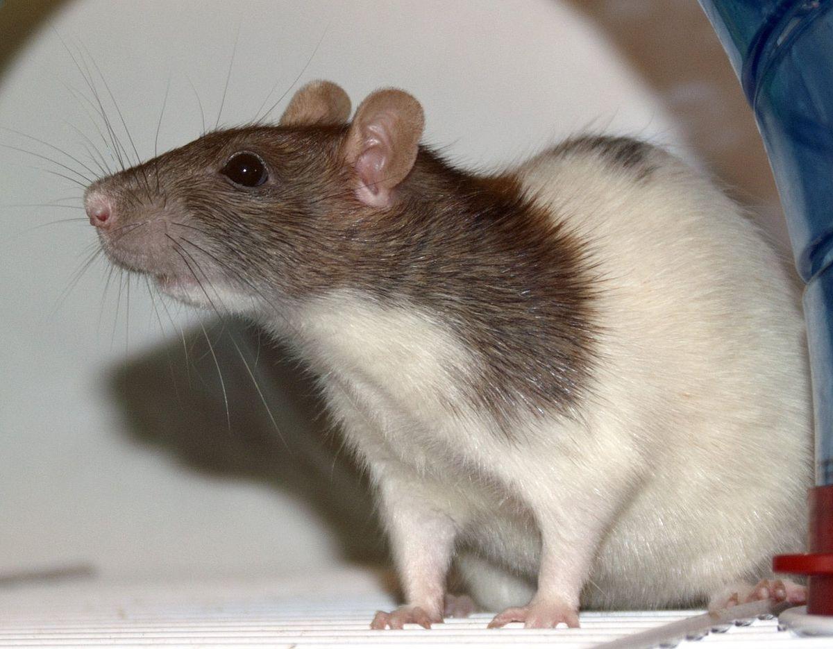 пятнистая крыса фото дизайнеры
