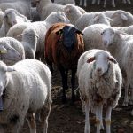 ¿Borregos? Los científicos crean los primeros híbridos de ovejas humanas
