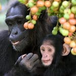 Humanzees: The Push To Make Human-Chimp Hybrids