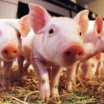 Scientists: Now Using Pig Organs For Transplants Into Humans