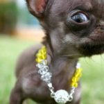 'Miracle Milly': Hundeklonierte 49-Zeiten in einer sinnlosen genetischen Studie