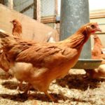 Kyllinger, der er genetisk modificeret til at lægge æg, der indeholder kræftlægemidler