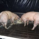 Frankenswine: Engineered Food For Kinas Engineered Society
