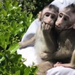 Transgenic: Chinese Scientists Put Human Gene Into Monkeys
