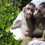 Transgen: kinesiska forskare sätter mänsklig gen i apor