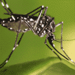 GMO Fail: Mosquitoes Breed Despite Kill-Switch Gene