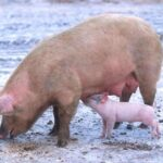FDA Approves GMO Pigs For Food, Drugs, Transplants